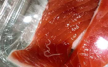 an Anisakis worm in a filet of salmon