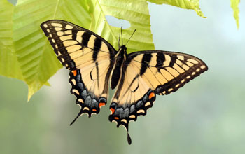Photo of the yellow form of the female eastern tiger swallowtail butterfly at Spruce Knob, W.Va.