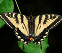 Photo of the Canadian tiger swallowtail butterfly.