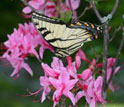Photo of male Appalachian tiger swallowtail feeding in Rhododendron flowers at Spruce Knob, W.Va.