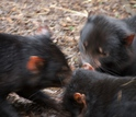 Three Tasmanian devils eating