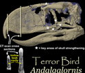 CT scan of the skull of the terror bird where gray is the fossil and lavender is rock.