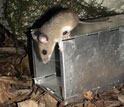 Photo of a white-footed mouse inspecting a live-trap at a field research site.