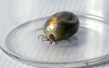 Photo of a bloated female blacklegged tick filled with its blood-meal.
