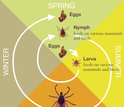 From nymphs to larvae to adults, ticks are looking for meals.