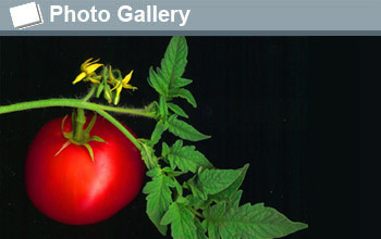 a tomato and the text  photogallery