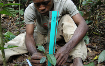 A Mbendzele research assistant measuring tree seedlings using a ruler