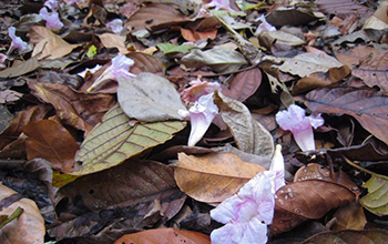 Tabebuia flowers and leaf litter