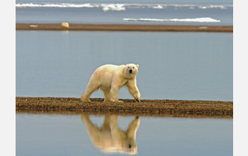 Photo of polar bear and melting ice.