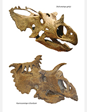Photo of skulls of the two new species of dinosaurs.