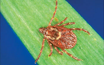 Close-up photo of a tick.