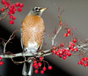 American robin on a branch.