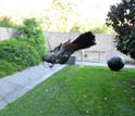 Gray catbird caught in a research mist net near a museum in Washington, D.C.