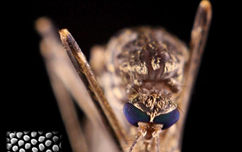 eye of a mosquito