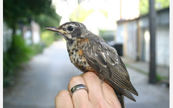 Photo of a juvenile American Robin.