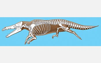 Artist's conception of male Maiacetus inuus with transparent overlay of skeleton.