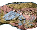 Image showing fossils of female Maiacetus inuus with near-term fetus in utero.