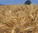 Photo of winter wheat field.