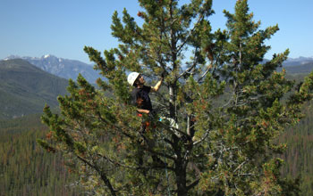 Photo of ecologist Josh Rapp climbing a whitebark pine