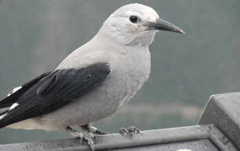 Close-up photo of a clark's nutcracker bird