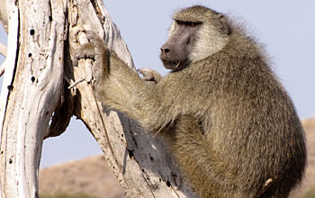 Photo of an adult male baboon resting on a tree near Amboseli National Park, Kenya.