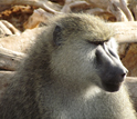 Photo of an adult male member of the Amboseli baboon population.