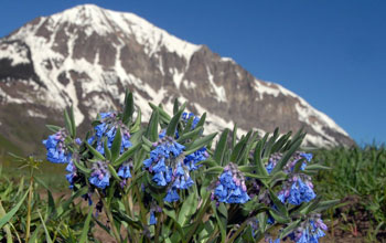 Dwarf bluebells in bloom with a snowy mountain peak in the background.