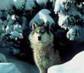 Image of a wolf watching for prey through a snow-covered forest.
