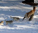 Image of wolves hunting an elk in Yellowstone's deep winter snows.