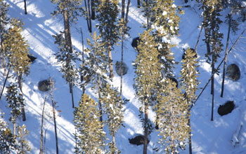 Image of the Gibbon Pack taking cover in winter in a Yellowstone conifer forest.