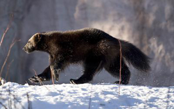 Photo of a wolverine walking across snow covered ground.