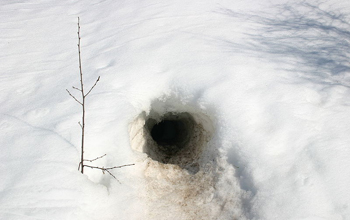 Photo of a wolverine burrow in the snow.