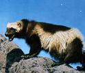 Photo of a wolverine on a rocky surface.