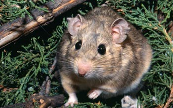 Photo of a woodrat in Utah's Great Basin isurrounded by toxic juniper leaves.