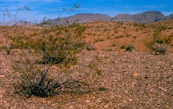 Photo of creosote bushes in the Mohave Desert.