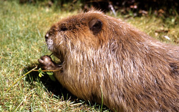 Close up image of a beaver.