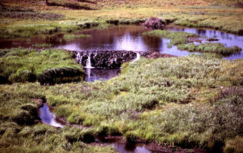 An old beaver dam along a stream in Yellowstone National Park.