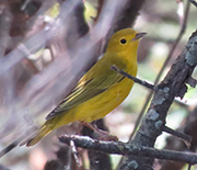 Yellow warblers are known for their long-distance migrant breeding in much of North America.