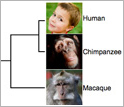 Illustration of a family tree showing how lemurs and humans are related and how lemurs diverged.