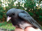 image of a junco