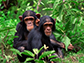 two chimpanzees sitting in the grass