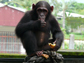 image of a chimpanzee