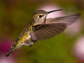 a female Anna's Hummingbird