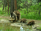 a mother bear and her two cubs drinking water