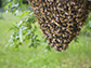 bee swarms form when a queen bee strikes out with a large group of worker bees