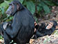 Imani the chimpanzee with her son