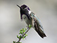 Costa's hummingbird in the Mojave National Preserve