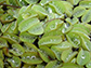 Salvinia molesta, a floating fern
