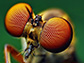 the compound eye of a fly