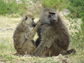 baboons take turns grooming each other